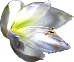 Sasha-Flower